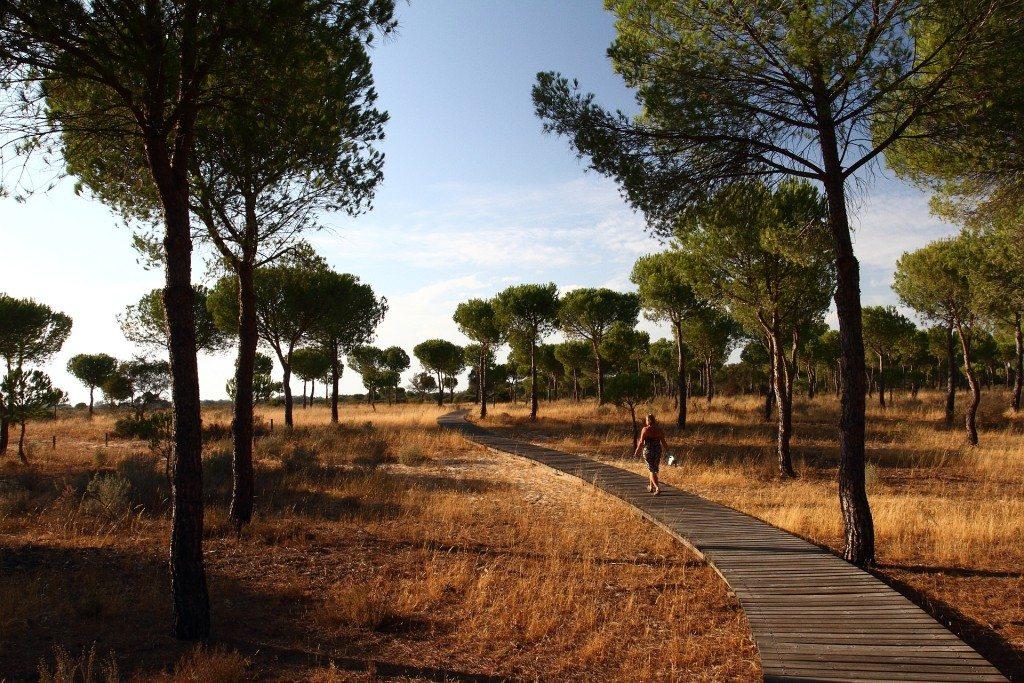 Pines in Donana NP